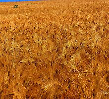 For Amber Waves of Grain by Lisa Taylor