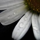 Daisies by Dawn Palmerley