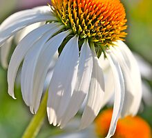 Summer Coneflowers by Nadine Rippelmeyer