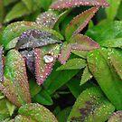 dew drops by feeee
