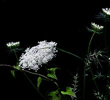 """Queen Anne's Lace"" by Melinda Stewart Page"