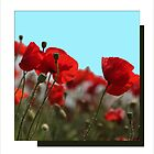 Testing Poppies  by John44