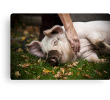 Playful Pig Canvas Print