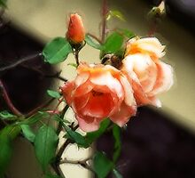 Climbing Rose by Paul Todd