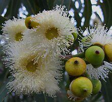 eucalyptus flowering by betty porteus