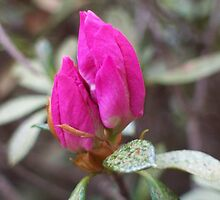 Azalea Buds by Erica Long