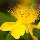 Fluffy Yellow Flower: Hypericum by DonDavisUK