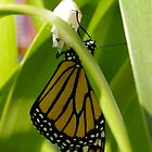 Hatching Monarch by EileenFrith