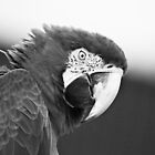 black and white parrot  by Samantha Coe