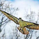 Lady Osprey by Danielle Girouard