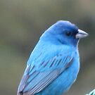 Indigo Bunting up close by maxy