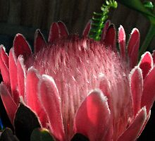 Native Protea by haymelter