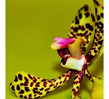Fiesty Little Spider Orchid Photographic Print