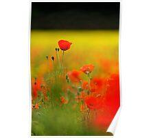 Tall Poppy Poster