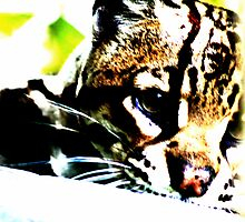 ocelot 2 by Kent Tisher