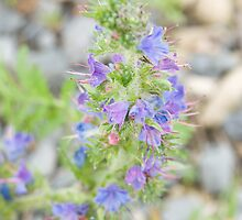 Common Viper's Bugloss (Echium Vulgare) by Mike Oxley