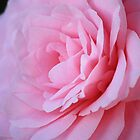 Camellia by Susan Brown
