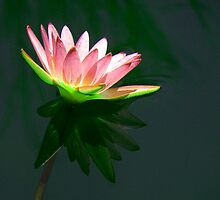 Reflected Water Lily by Rosalie Scanlon
