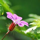 Purple Drop by Rhys Herbert