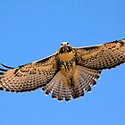 0627093 Red Tailed Hawk (Juvenile) by Marvin Collins