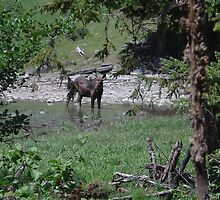 Bull moose by dixiemorgan
