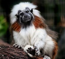 Tiny Tamarin by Blaze66