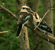 Kookaburras-feeding-time,Adelaide Hills, S.A. by elphonline