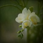 Freesias by JoHammond