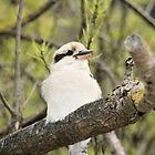 A little bit closer-kookaburra. by elphonline