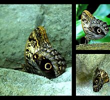 Owl Butterfly by LjMaxx