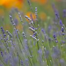 Lavender Dream by Sarah-fiona Helme