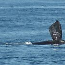 Where are you??  Mother right whale. by Linda Jackson