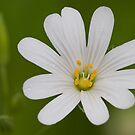 Greater Stitchwort by David Lewins LRPS