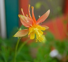 Wild Columbine by BellaStarr