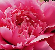 Peony Perfection by Linda Bianic