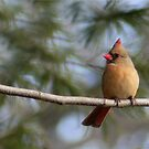 FEMALE CARDINAL by Lori Deiter