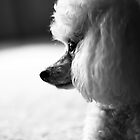 Profile of a Poodle by damienlee