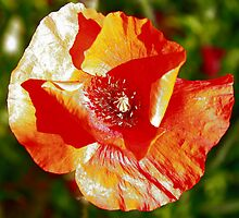 "Orange ""pipacs"" (Field Poppy) by zumi"