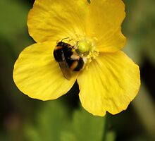Yellow Poppy and Bumble Bee by AnnDixon