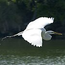 Great White Heron in flight by Larry  Grayam