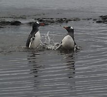 Gentoo Penguins Playing? by flash62au