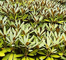 Rhodedendron leaves by WebVivant