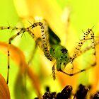 Green Lynx Spider by Dennis Stewart