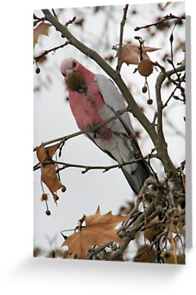 The galah. by elphonline