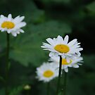 Daisies by Vonnie Murfin