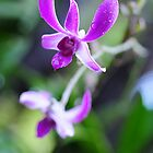 Orchid Dew by Loriene Perera