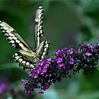 GIANT SWALLOWTAIL by Lori Deiter
