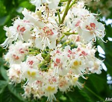 Buckeye Blossoms by Bea Godbee