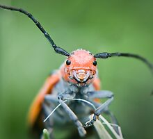 happy beetle - Red Milkweed Beetle (Tetraopes tetrophthalmus) by jude walton
