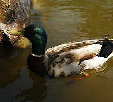 Mallard Duck by Adam Bykowski